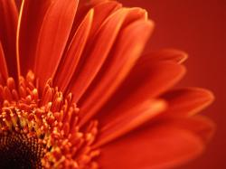 Closeup Macro Red Flower (click to view)