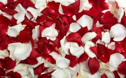 Red White Rose Petals