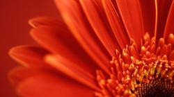 Red Flower Up Close Wallpaper 42739 1680x1050 px
