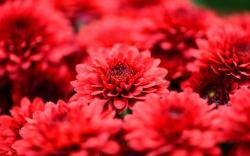 Chrysanthemums Red Flowers Petals Close-Up
