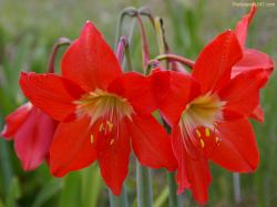 Red Lilies Flowers Wallpaper