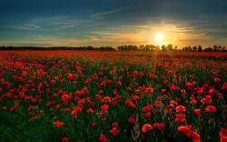 Hd Field Of Red Flowers Wallpaper