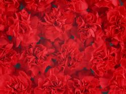 Dense Red Carnation Flowers Background Wallpapers Hd 1600x1200px