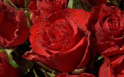 water drops red flowers hd wallpapers rose cool images background