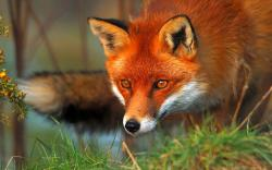Red fox eyes