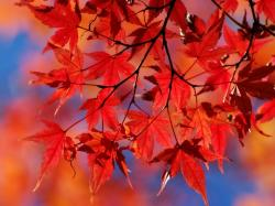 Red Red leaves