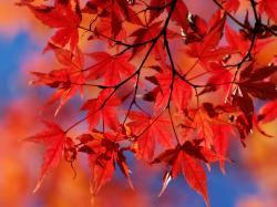 ... autumn-dried-leaves-red ...