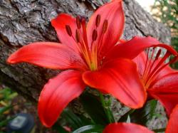 Lily Flower Wallpaper: Red Lilies Flowers Desktop Wallpaper 1600x1200px