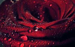 3840x2400 Wallpaper flower, rose, red, macro, petals, dew drops