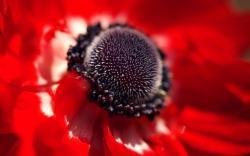 red flower black center macro