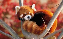 ... Sleeping Red Panda Wallpaper 7 ...