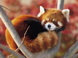 Red Panda 16