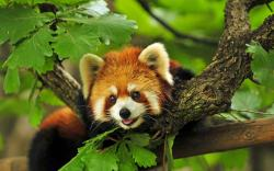 ... Sleeping Red Panda Wallpaper 9