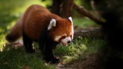 Daily Wallpaper Red Panda