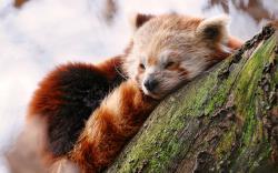 Cute Red Panda Wallpaper