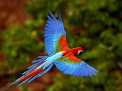 Red-and-green Macaw - cats-parrots-and-butterflies Wallpaper