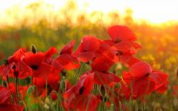 Red poppies summer