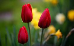 Red tulips, flower bud, water drops wallpaper 2560x1600.
