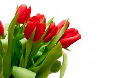 """Download the following Red Tulips Wallpaper 44629 by clicking the orange button positioned underneath the """"Download Wallpaper"""" section."""