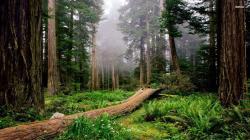Redwood Forest Wallpaper 39 HD Image