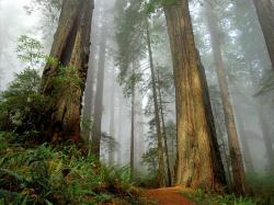 Trees Woodland And Forests Californian Redwood