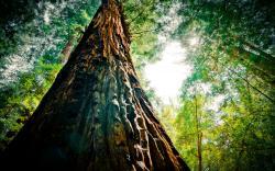 Redwood ...