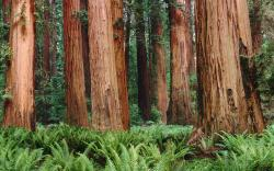 Redwood Forest Wallpaper 18 HD Image