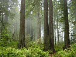Redwood National Park, fog in the forest.jpg