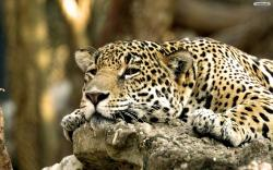 Resting Cougar Wallpaper