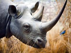 rhino wallpaper ...
