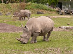 File:White rhino dublin zoo.jpg