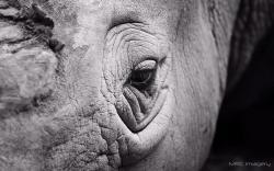 Rhinoceros Eye Close-Up