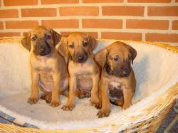 ... Rhodesian Ridgeback Puppies in a Basket (Rhodesian Ridgeback Picture #2) ...