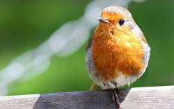 Robin bird close up
