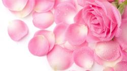 View and Download HD Wallpapers 1080p Pink Rose Petals ...