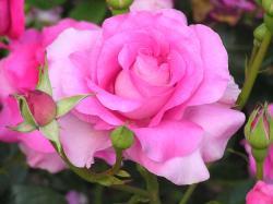 Rose Flowers 7076 1280x960 px