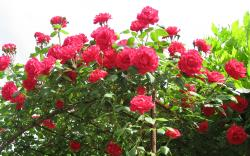 You can use a variables Amber Rose's Flower, http://typesofflower.com/roses-flower-natural-roses/amber-roses-flower/, , Types of Flowers and ...