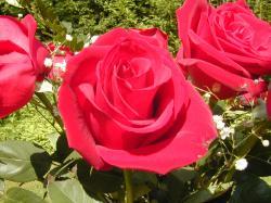 rose-flower-14
