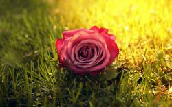 Rose Grass Sunbeam Wallpapers Pictures Photos Images. «