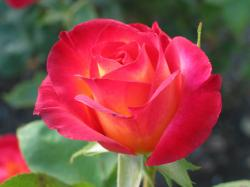 rose-2.jpg ...