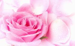 Colors Pretty Pink Rose Wallpaper
