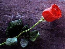 Beautiful wallpaper wtih a single rose with thorns and water