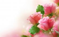 Colors Pretty Pink Rose Wallpaper