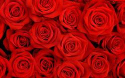 Roses Roses Roses Roses ...