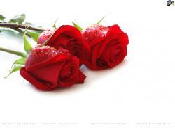 Roses Roses Roses ...