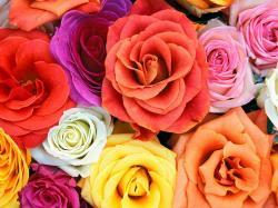 ... Roses Wallpaper 3 ...