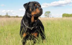 2560x1600 Animal Rottweiler