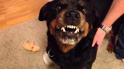 Angry Rottweiler 2