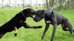 Rottweiler vs pit bull