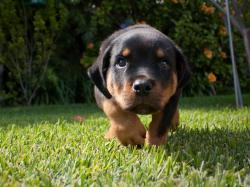 Rottweiler Picture Gallery